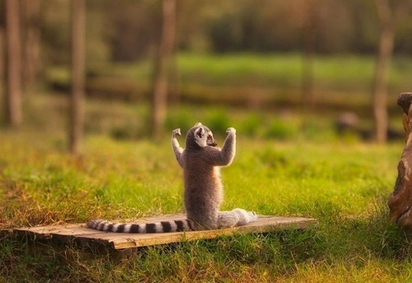 Go Lemur, Go Lemur, Go Lemur!!!